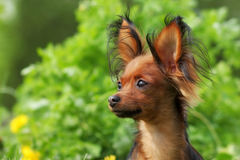 Russo decorativo Toy Terrier do cão Foto de Stock