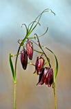 Russo di Fritillaria Fotografie Stock