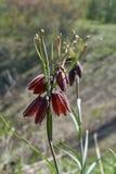 Russo elegante di Fritillaria del fiore della molla Immagini Stock Libere da Diritti