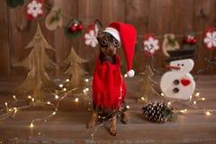 Russo Toy Terrier del cane Natale di festa Immagine Stock Libera da Diritti