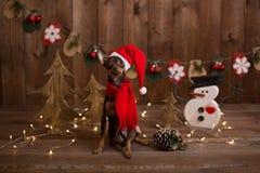 Russo Toy Terrier del cane Natale di festa Fotografia Stock Libera da Diritti