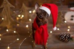 Russo Toy Terrier del cane Natale di festa Immagini Stock Libere da Diritti