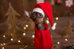 Russo Toy Terrier del cane Natale di festa Fotografie Stock