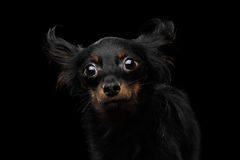 Russo Toy Terrier Dog no fundo preto Fotografia de Stock Royalty Free