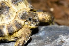 Russsian turtle. Young and small russian turtle Royalty Free Stock Images