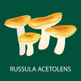 Russula Acetolens , Wild Foraged Mushroom Stock Images