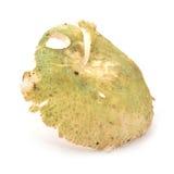 Russula aeruginea Stock Photos
