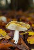 Russula amarillo Imagen de archivo libre de regalías