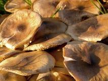 Russula amarillo común Imagen de archivo libre de regalías