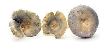 Russula cyanoxantha Royalty Free Stock Photo
