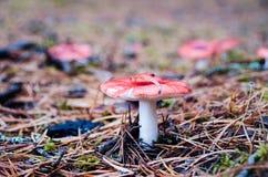 Russula del fungo che cresce sul muschio ago-encrusted Fotografia Stock