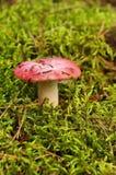 russula di colore rosso del fungo Fotografia Stock