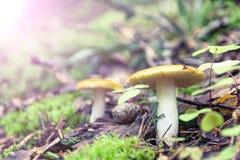 Russula emetica, powszechnie znać jako sickener, wymiotny russula lub buchania russula, Pieczarka w lesie obrazy royalty free