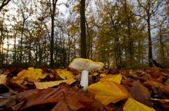 Russula gialla Fotografia Stock Libera da Diritti