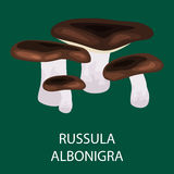 Russula lokalisiertes Acetolens, wilder herumgesuchter Pilz, Vector essbare natürliche Pilze im Natursatz, organisches Gemüse-foo Lizenzfreie Stockfotografie
