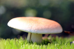 Russula in moss close-up Stock Photos