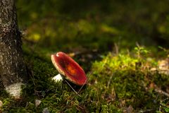 A russula mushroom growing in a green moss stock image