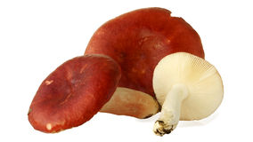 Russula mushroom Royalty Free Stock Images