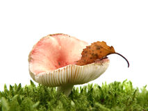 Russula mushroom in moss isolated on w Stock Images