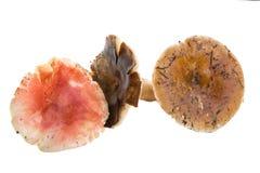 Russula mushrooms Stock Photos