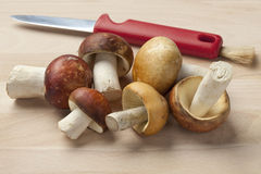 Russula mushrooms Stock Image