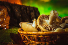 Russula mushrooms in a wicker basket close up Royalty Free Stock Photo