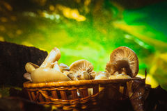 Russula mushrooms in a wicker basket close up Stock Image