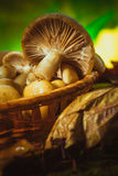 Russula mushrooms in a wicker basket close up Royalty Free Stock Photos