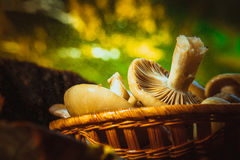 Russula mushrooms in a wicker basket close up Stock Images