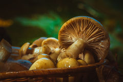 Russula mushrooms in a wicker basket close up Royalty Free Stock Image