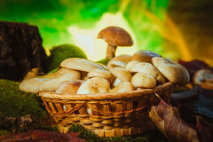 Russula mushrooms in a wicker basket close-up Stock Image