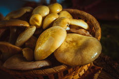 Russula mushrooms in a wicker basket close up on moss Stock Photos