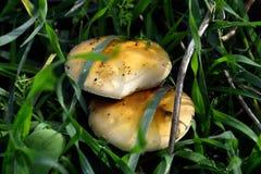 Russula mushrooms. Royalty Free Stock Images