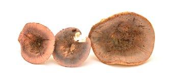 Russula olivacea mushroom Royalty Free Stock Photography