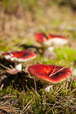 Russula paludosa Stock Images