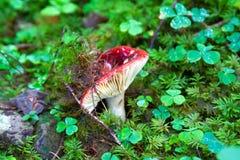 Russula imagen de archivo