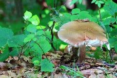 Russula vesca mushroom Stock Photos