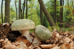 Russula virescens, commonly known as the green-cracking russula, the quilted green russula, or the green brittlegill mushroom Stock Images