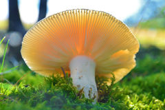 Russula virescens mushroom Stock Photo