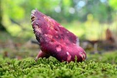 Russulaxerampelina Arkivfoton