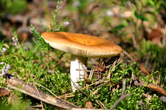 Russule in the forest Stock Photography