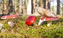 Russules in het bos Royalty-vrije Stock Afbeelding