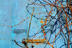Rust on blue old painted metal.  Spring grapevine with kidneys. Texture, background fo you text Stock Photo