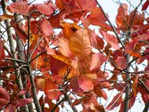 Rust Colored Tree Leaves on Branches Stock Images