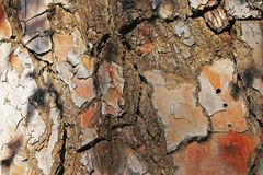 TEXTURED RUST COLOURED BARK OF PINE TREE Stock Images