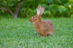 Rust en snoepje weinig bruine konijnzitting op groen gras royalty-vrije stock afbeelding