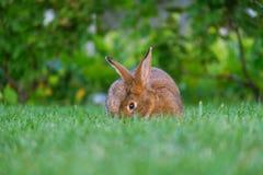 Rust en snoepje weinig bruine konijnzitting op groen gras royalty-vrije stock fotografie