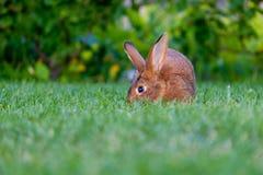 Rust en snoepje weinig bruine konijnzitting op groen gras, royalty-vrije stock fotografie