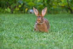 Rust en snoepje weinig bruine konijnzitting op groen gras royalty-vrije stock foto's
