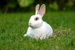 Rust en snoepje weinig witte konijnzitting op groen gras, stock foto